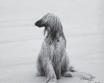 Afghan hound postcard for postcrossing // dog postcard // dog fine art print // b&w dog photo