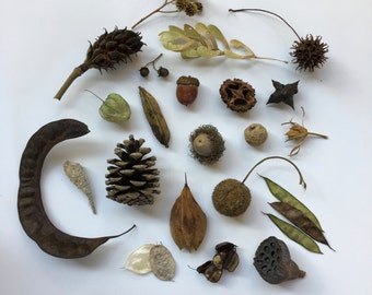 Seed Pod Collection:     Montessori, Charlotte Mason, Curiosity Cabinet, Nature Gift, Nature Items, Fall Decor