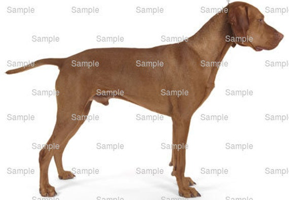 Vizsla Dog Birthday - Edible Cake and Cupcake Topper For Birthday's and Parties! - D6755