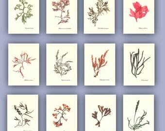 Seaweed art, Pressed seaweed, 12 natural seaweed pressings, botanicals, seaweed herbarium, beach cottage, nautical decor, MADE TO ORDER 5X7