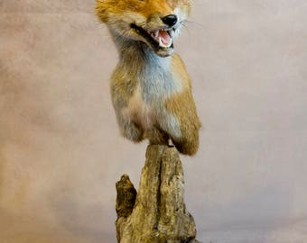 Taxidermy Fox mask pedestal on driftwood