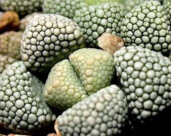 Titanopsis Primosii Seeds - Mesembryanthemum Succulent
