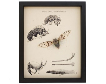 Old Cicada Print with Real Specimen Natural History Entomology Display