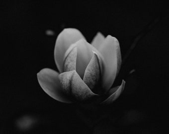 Bloom II, Black and White, Flower, Fine Art Photographic Print, Living Room Decor, BW, Wall Decor, Gift Ideas, Photography, Petals