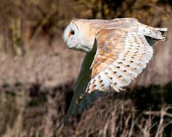 Barn Owl in flight | Picture of Barn Owl | Barn Owl Photo | Barn Owl Image | Bird of Prey | Wildlife Photography