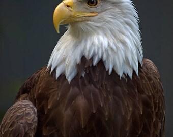 "Bald Eagle Photograph, Color Photography, Nature Photo, Wall Art, Art Print, Animal Portrait, Bird Of Prey, ""Bald Eagle, Close-Up #1"""