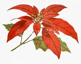 Flower Clipart 'Poinsettia' Printable Digital Download Botanical Illustration for Invitations, Scrapbooking, Stickers, Cards, Crafts...