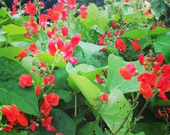 Scarlet Runner Bean, Heirloom Pole Beans, Scarlet Emperor Bean, Phaseolus coccineus, Great For Hummingbird Gardens and Bee Gardens