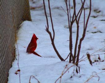 Cardinal Photography, Bird Photography, Cardinal, Nature, Wall Art