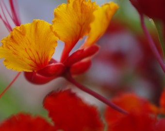 Flower photograph, red, yellow, green, nature photography, sun, summer, fine art, home decor, 8x12 print