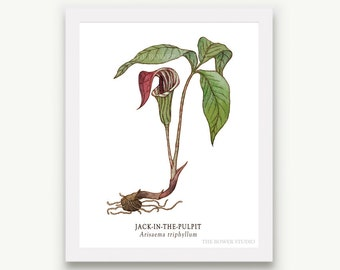 Botanical Jack in the Pulpit Print - Unmatted