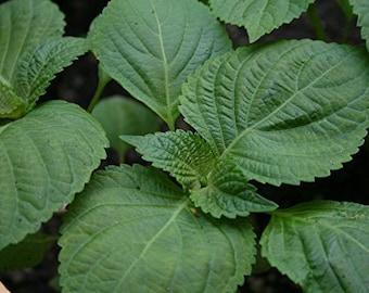 Perilla Seeds- Shiso- Beefsteak- Herb- 300+ Seeds