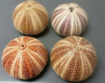 English Channel Sea Urchin  (EA)