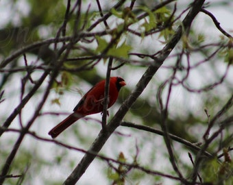 Cardinal sitting in a tree 72 x 48 inch digital print/ Instant download of beautiful Cardinal on branch