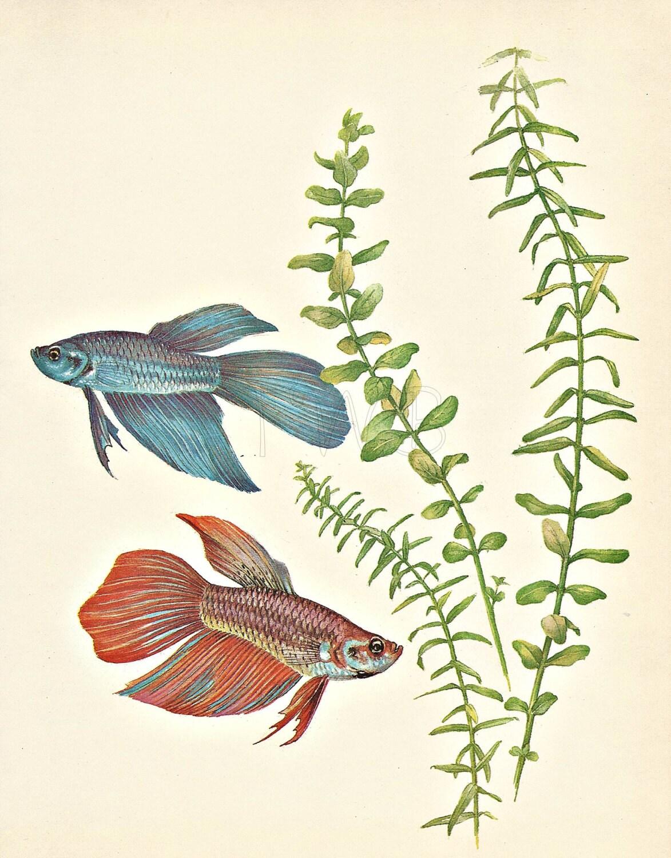 Fish Print Aquarium Print Natural History Art Illustration