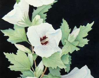rose of sharon watercolor-white rose of sharon-rose of sharon painting-garden painting-flower watercolor-flower art-botanical painting