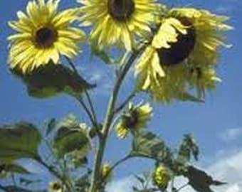 Sunflower-Moonshine- 100 seeds