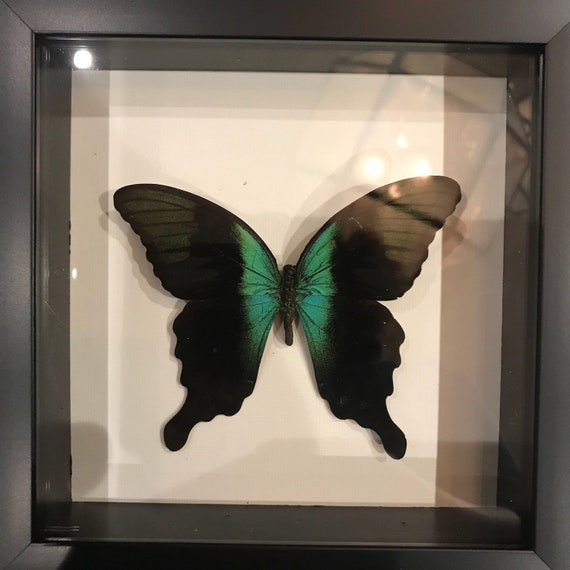 Real black and green butterfly taxidermy display