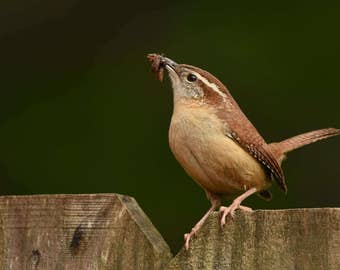 Wren with Worm, 2