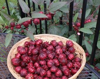 Hibiscus Sabdariffa (Roselle) Seeds - Larger Packet, Organically Grown Herb Seeds - Herbal Hibiscus Seeds - Organically Grown Seeds