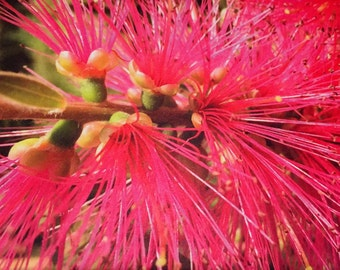 Beautiful flowers and nature postcards/Jolies cartes de fleurs et de la Nature (Callistemon - Origine: Australie)