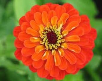 Orange Zinnia Heirloom Seeds Rare