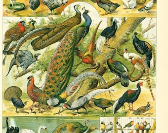 1897 Antique Bird Print, Original Larousse Encyclopedia Identification Chart, Wild birds, Bird wall art