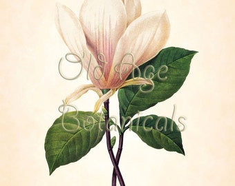 Antique REDOUTE Botanical Print Large White MAGNOLIA Flower 11x14 Floral Art Print Natural History Vintage Botanical Wall Decor LBF1321