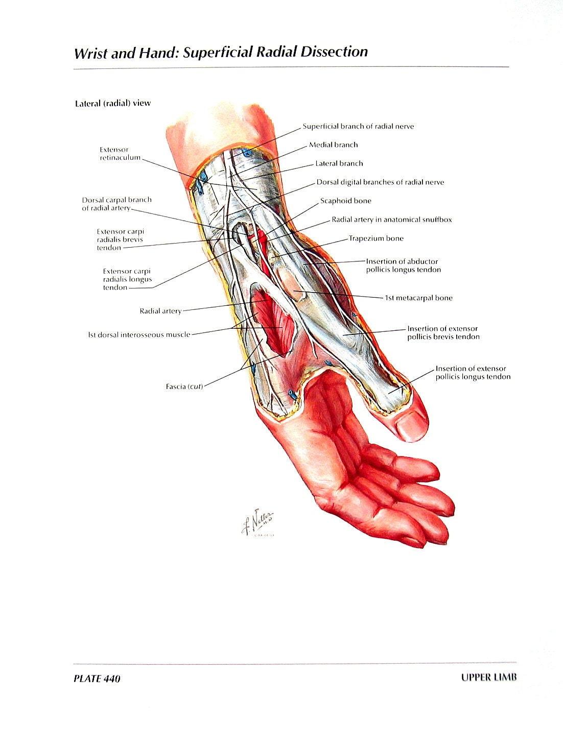 Ausgezeichnet Anatomie Des Handgelenks Fotos - Menschliche Anatomie ...