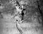 Baby Giraffe and Mom, Bla...