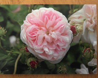 blank greeting card featuring the Gallica rose Isis (pack of 3)