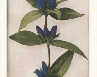 BLIND GENTIAN Antique Botanical Wildflower Art Print Decor, vintage nature,garden,floral,herb print for shabby chic, cottage, country living