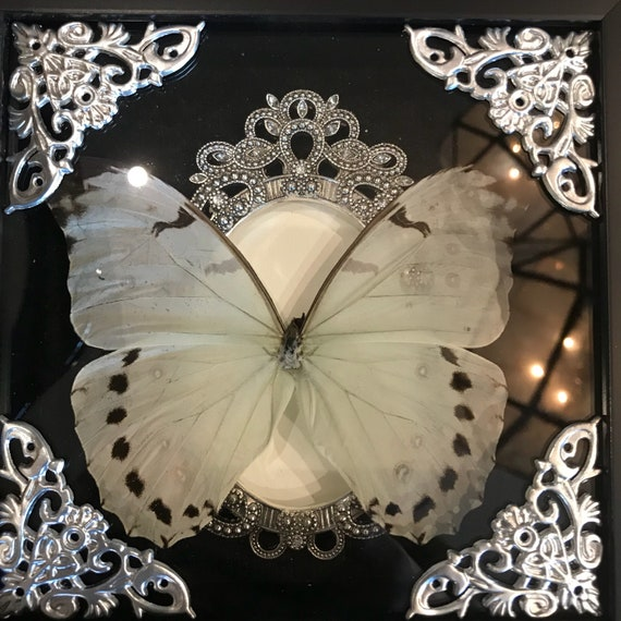 Real light blue morpho butterfly taxidermy display