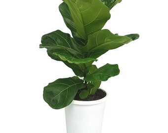 Fiddle Leaf Fig Tree 'Bambino' 25 - 30 in (Ficus Lyrata)  - Perfect Hostess Gift, Stocking Stuffer, Gift for Her, Housewarming Present