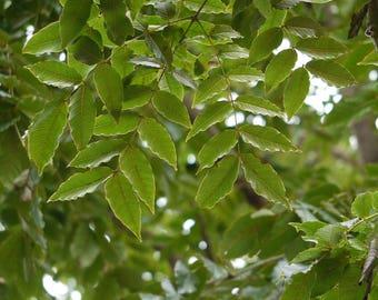 100 Seeds Acrocarpus fraxinifolius Seeds. Pink Cedar. Mundani Seeds.timber tree