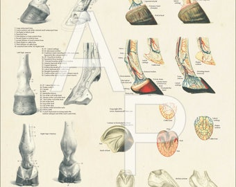 "Horse Foot Hoof Veterinary Anatomy Poster - 18"" X 24"""