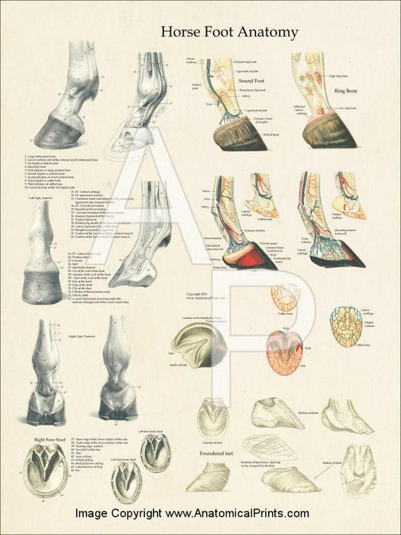 Horse Foot Hoof Veterinary Anatomy Poster 18 X