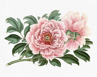Peony Flower 'Pink Tree Peonies' Botanical Illustration Art Instant Download Image for Invitations, Scrapbook, Prints, Collages, Crafts...