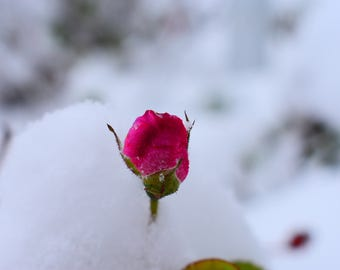 Blooming rose in the first snowfall