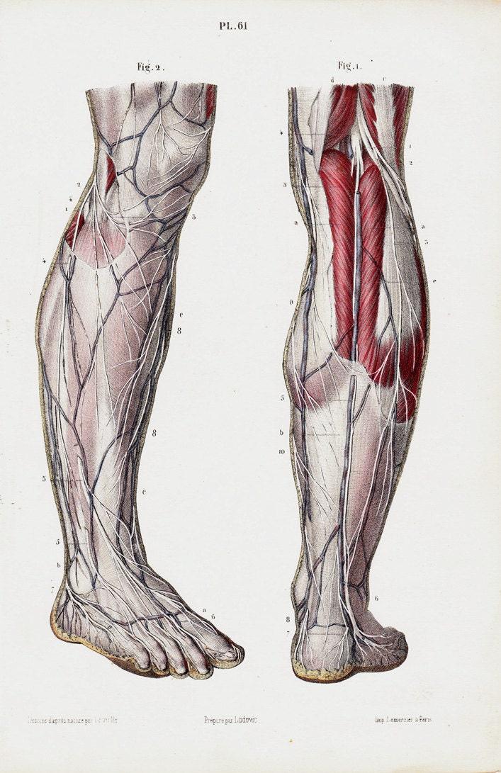 Antiker Druck 1853 Antique Anatomie print feine Anatomie