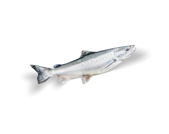 Atlantic Salmon Decal, Atlantic Salmon Sticker, Salmon
