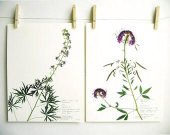 Purple Colorado Wildflowers Print Set, #184 172, larkspur art purple flower art pressed flower art herbarium specimens dried flower prints