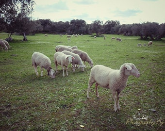 Sheep in a Meadow, Portugal. Original Fine Art Photography.