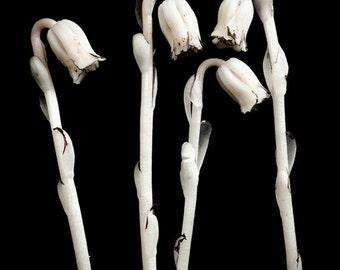 monotropa uniflora, 8x10 fine art photograph, limited edition print