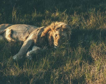 The King - Photo, Art, Print, Home Decor, Lion, Animals, Wildlife Photography, Nature, Travel Photo,  Wall Art, South Africa, gift