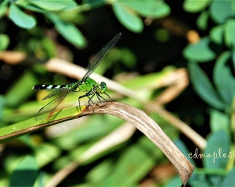 Dragon Fly Photograph, Dragon Fly Color Print, Summertime Photo, Photography