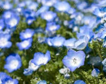 Baby Blue Eyes Seeds, Nemophila Menziesii, Annual Flower, Flower Essence Plant, Herb, Wildflower