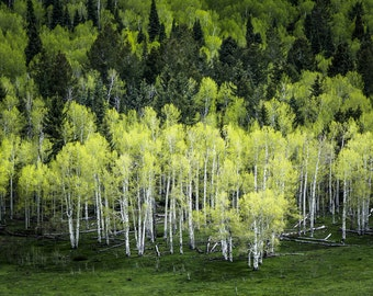 Aspen trees spring photo, mountain meadow photo, spring green art, aspen trees wall art, aspen tree decor, rustic wall decor, cabin decor