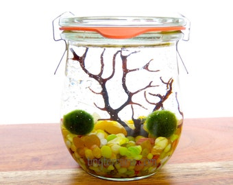 Marimo Terrium Kit: Weck Tulip Jar, Japanese Marimo Moss Ball, 23 Color, Gift Wrap, Card, Fast Shipping, Personalized Gift