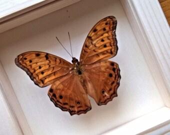 Real Vidula Erota Framed - Taxidermy - Home Decoration - Collectibles No1